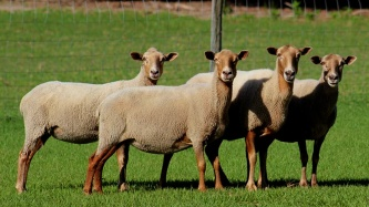 Florida Cracker Sheep